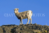 CANADA, Alberta, Jasper National Park, Rockies, young Bighorn sheep standing on rock, CAN758JPL