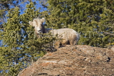 CANADA, Alberta, Jasper National Park, Rockies, young Bighorn sheep standing on rock, CAN760JPL