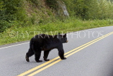 CANADA, British Columbia, Black Bear crossing the highway near Stewart, CAN766JPL