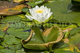 CANADA, British Columbia, VANCOUVER, Queen Elisabeth Park, Water Lily, CAN885JPL