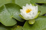 CANADA, British Columbia, VANCOUVER, Queen Elisabeth Park, Water Lily, CAN886JPL