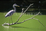 CANADA, Ontario, TORONTO, High Park, Heron stalking fish, CAN578JPL