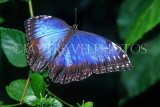 COSTA RICA, Blue Morpho Butterfly, CR101JPL