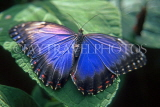 COSTA RICA, Blue Morpho Butterfly, CR102JPL
