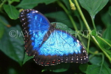 COSTA RICA, Blue Morpho Butterfly, CR103JPL
