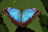 COSTA RICA, Blue Morpho Butterfly, CR115JPL