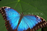 COSTA RICA, Blue Morpho Butterfly, CR116JPL