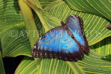 COSTA RICA, Blue Morpho Butterfly, CR121JPL