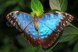 COSTA RICA, Blue Morpho Butterfly, CR123JPL