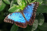 COSTA RICA, Blue Morpho Butterfly, CR124JPL