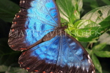 COSTA RICA, Blue Morpho Butterfly, CR125JPL