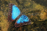 COSTA RICA, Blue Morpho Butterfly, CR127JPL