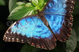 COSTA RICA, Blue Morpho Butterfly, CR128JPL