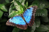 COSTA RICA, Blue Morpho Butterfly, CR129JPL