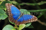 COSTA RICA, Blue Morpho Butterfly, CR130JPL