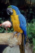 COSTA RICA, Blue and Yellow Macaw, CR107JPL