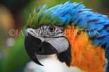 COSTA RICA, Blue and Yellow Macaw, closeup, CR137JPL