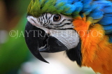 COSTA RICA, Blue and Yellow Macaw, closeup, CR138JPL