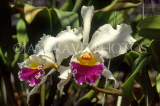 COSTA RICA, Cattleya Orchids, CR91JPL