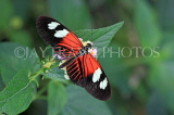 COSTA RICA, Doris Longwing butterfly, CR131JPL