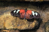COSTA RICA, Doris Longwing butterfly, CR133JPL