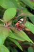 COSTA RICA, Doris Longwing butterfly, CR136JPL