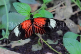 COSTA RICA, Doris Longwing butterfly, CR141JPL