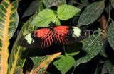 COSTA RICA, Doris Longwing butterfly, CR142JPL
