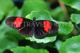 COSTA RICA, Heliconius Butterfly, CR105JPL