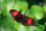 COSTA RICA, Heliconius Butterfly, CR107JPL