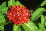 COSTA RICA, Ixora (Flame of the Woods) flowers, CR93JPL