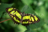 COSTA RICA, Malachite Butterfly, CR104JPL