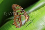 COSTA RICA, Malachite Butterfly, CR119JPL
