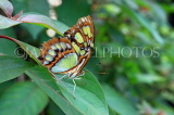 COSTA RICA, Malachite Butterfly, CR120JPL