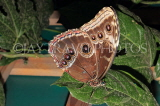 COSTA RICA, Owl Butterfly, CR144JPL
