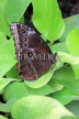 COSTA RICA, Owl Butterfly, CR152JPL