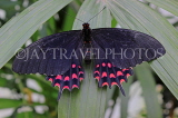 COSTA RICA, Red Crescent Swallowtail Butterfly, CR167JPL
