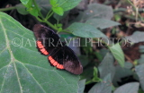 COSTA RICA, Red Rim Butterfly Butterfly, CR156JPL
