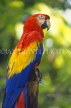 COSTA RICA, Scarlet Macaw perched on branch (red, yellow and blue), CR81JPL