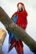 COSTA RICA, Scarlet Macaw perched on branch (red and blue), CR112JPL