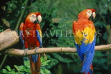 COSTA RICA, Scarlet Macaws perched on branch (red, yellow and blue), CR76JPL