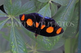 COSTA RICA, Shoemaker Butteryfly, CR159JPL