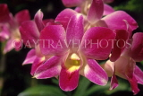 COSTA RICA, Spray Orchids, CR90JPL