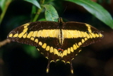 COSTA RICA, Swallow Tail Butterfly, CR108JPL