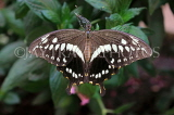 COSTA RICA, Thoas Swallowtail Butterfly, CR162JPL
