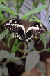 COSTA RICA, Thoas Swallowtail Butterfly, CR163JPL