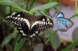 COSTA RICA, Thoas Swallowtail Butterfly, CR164JPL