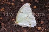 COSTA RICA, White Morpho Butterfly, CR161JPL