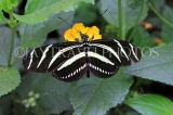 COSTA RICA, Zebra Longwing Butterfly, CR145JPL