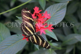 COSTA RICA, Zebra Longwing Butterfly, CR146JPL